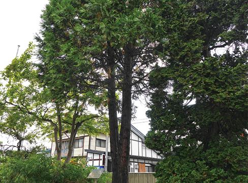 工場の敷地内に聳え立つインセンスシダーの木